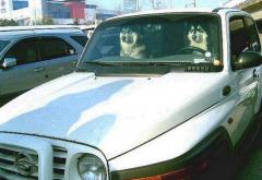 운전하는 개 시리즈 이번에는 시베리안허스키입니다
